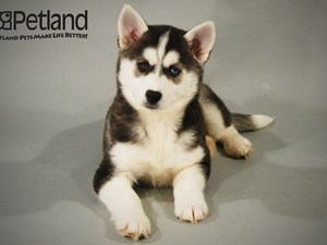 Dogs And Puppies For Sale Petland Iowa City Pet Store