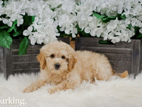 Grand Rapids F1B Mini Goldendoodle Dog Adoption Grand Rapids, MI