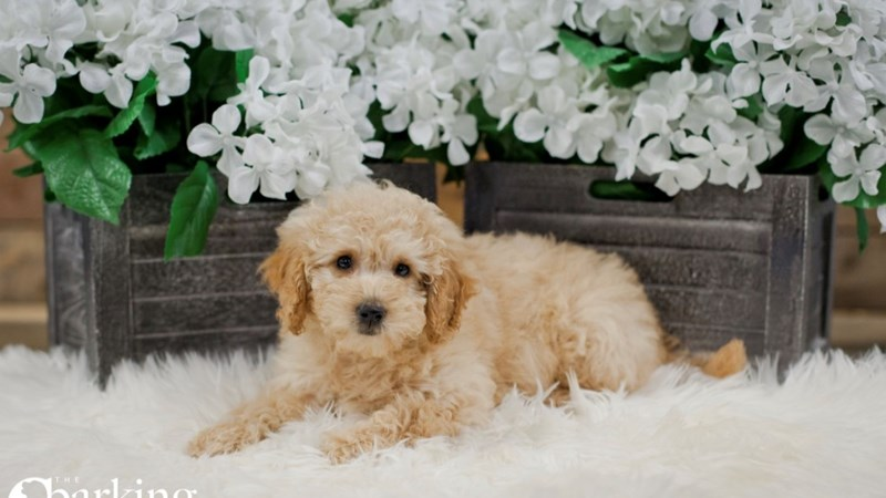 Grand Rapids F1b Mini Goldendoodle Puppies