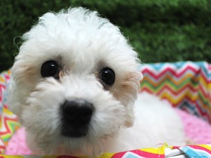 Dogs And Puppies For Sale Petland Fairfax Virginia