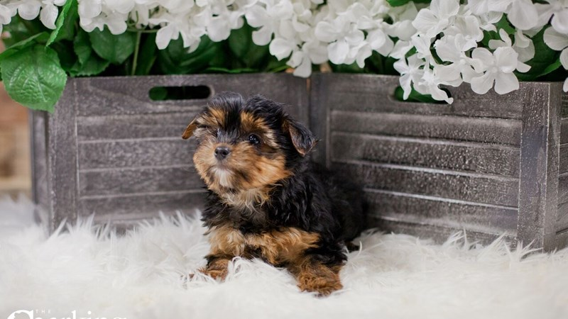 Grand Rapids Yorkshire Terrier Puppies