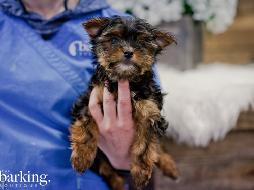 Grand Rapids Yorkshire Terrier Dog Adoption Grand Rapids, MI