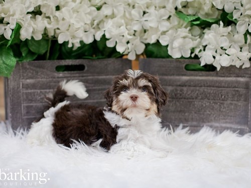 Grand Rapids Havanese Dog Adoption Grand Rapids, MI