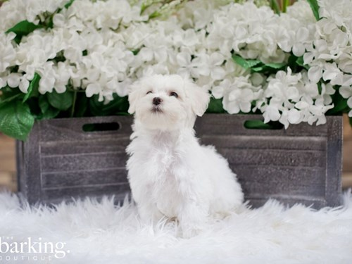 Grand Rapids Bichon Frise / Maltese Dog Adoption Grand Rapids, MI