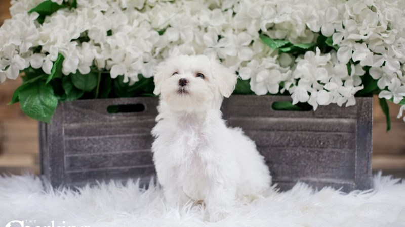 Grand Rapids Bichon Frise / Maltese Puppies