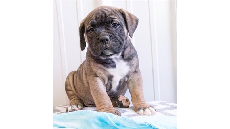 Grand Rapids Olde English Bulldogge Puppies