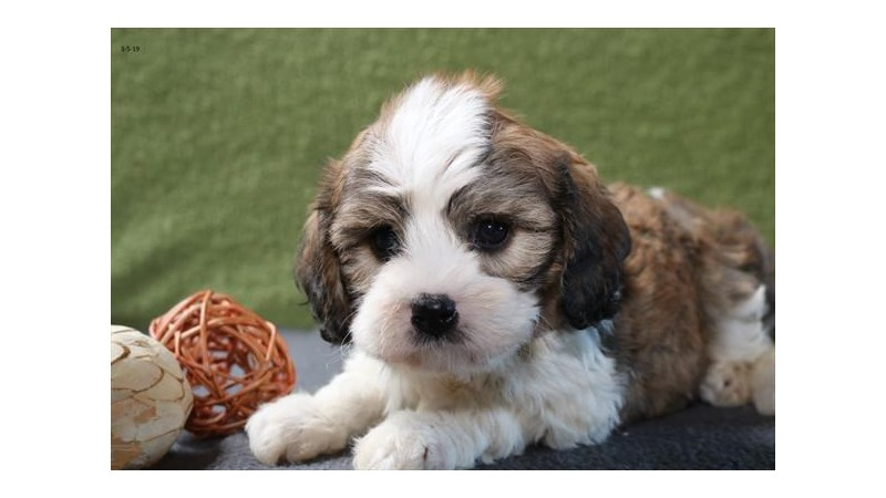 Grand Rapids Cavachon Puppies