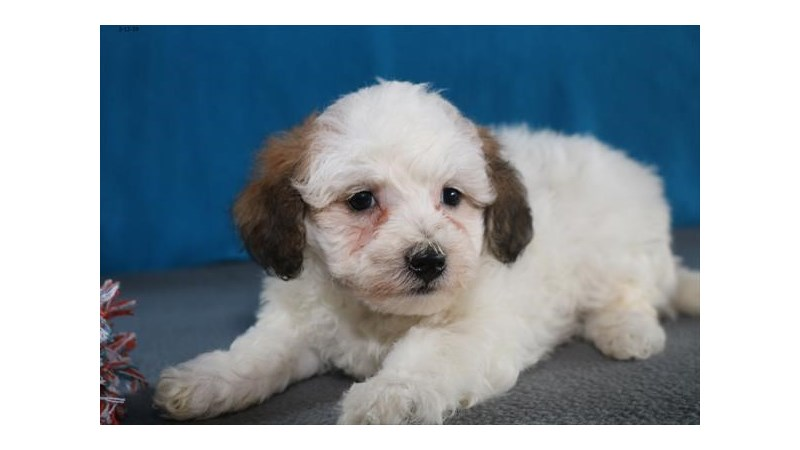 Grand Rapids Toy Poodle/bichon Frise Puppies