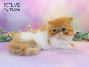 Available Kittens & Cats for Sale - Petland Kennesaw, Georgia