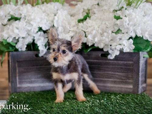 Grand Rapids Yoranian Dog Adoption Grand Rapids, MI