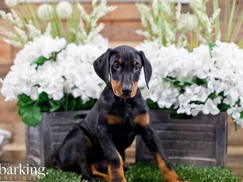 Grand Rapids Doberman Pinscher Dog Adoption Grand Rapids, MI