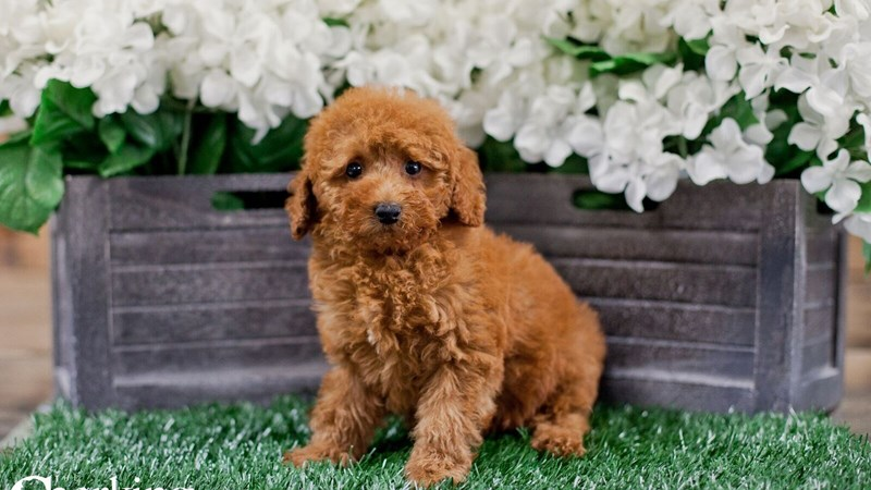 Grand Rapids Toy Poodle Puppies