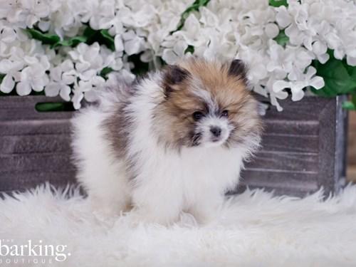 Grand Rapids Pomeranian Dog Adoption Grand Rapids, MI