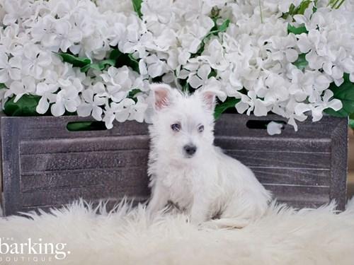 Grand Rapids West Highland White Terrier Dog Adoption Grand Rapids, MI