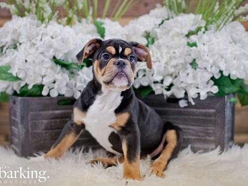 Grand Rapids Olde English Bulldogge Dog Adoption Grand Rapids, MI