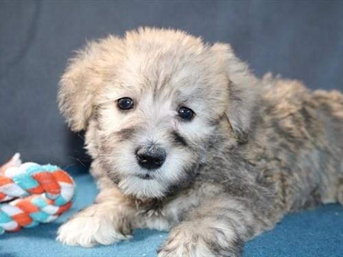 Grand Rapids Schnoodle Dog Adoption Grand Rapids, MI