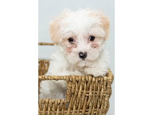 Puppies for Sale - Visit My Next Puppy in Chantilly & Fairfax County, VA