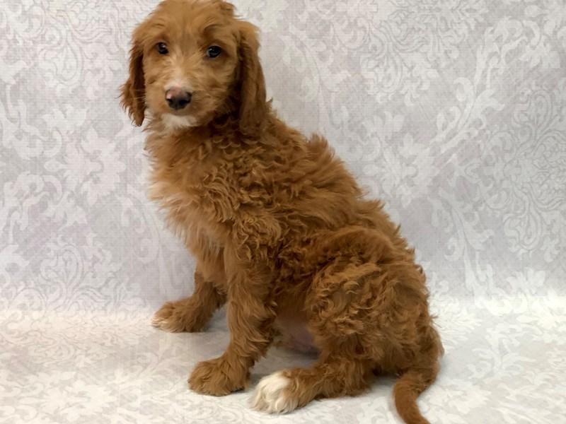 2nd Generation Goldendoodle