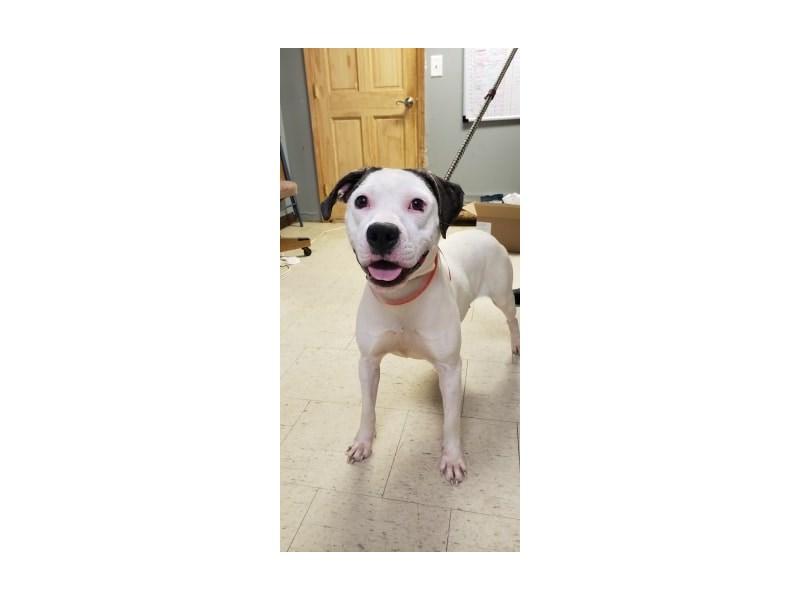 Boxer Mix-DOG-Female-White, Brindle-2333704-img2
