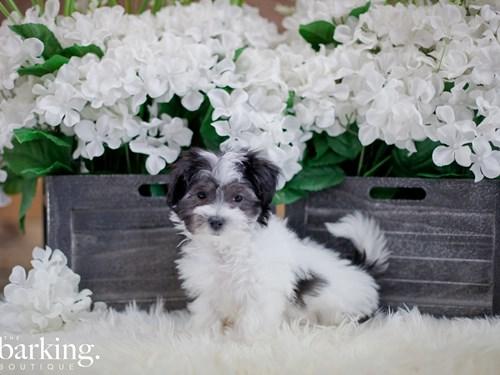 Grand Rapids Maltipoo Dog Adoption Grand Rapids, MI