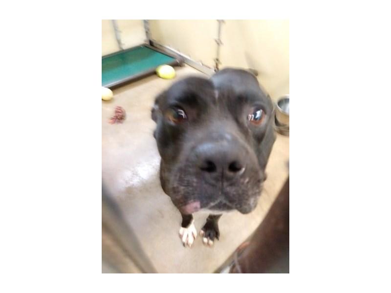 American Pit Bull Terrier-DOG-Male-black, white-2355826