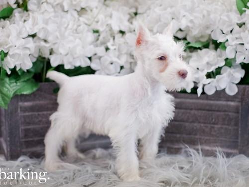Grand Rapids Miniature Schnauzer Dog Adoption Grand Rapids, MI