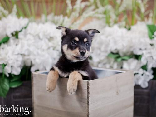 Grand Rapids Miniature Australian Shepherd/Alaskan Klee Kai Dog Adoption Grand Rapids, MI