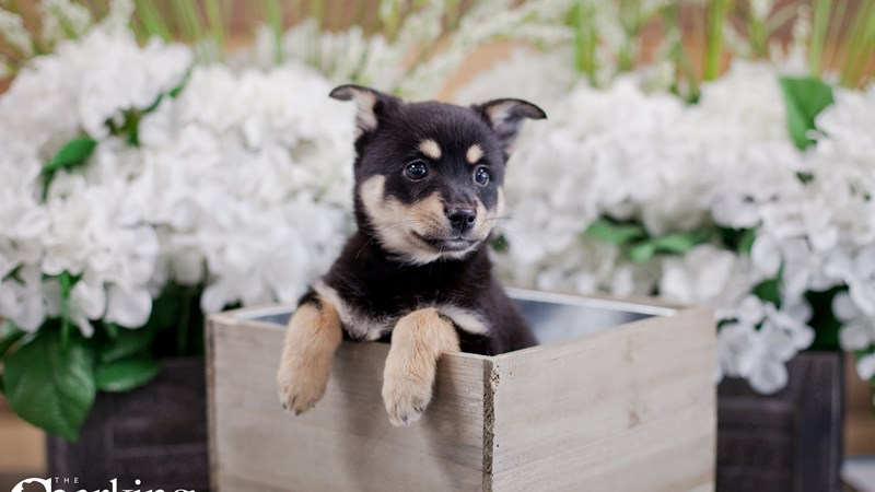 Grand Rapids Miniature Australian Shepherd/alaskan Klee Kai Puppies
