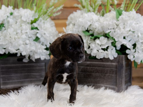 Grand Rapids French Bulldog/Beagle Dog Adoption Grand Rapids, MI