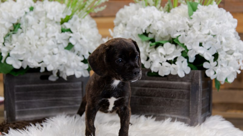 Grand Rapids French Bulldog/beagle Puppies