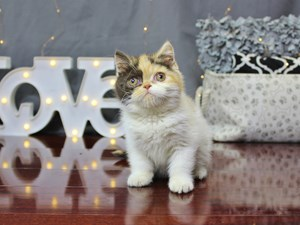 Available Cats & Kittens for Sale - Petland Columbus, Ohio