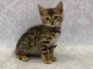 Kittens & Cats For Sale – Petland Bradenton, Florida