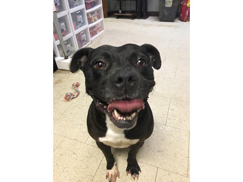 American Pit Bull Terrier-DOG-Male-black, white-2355826-img2