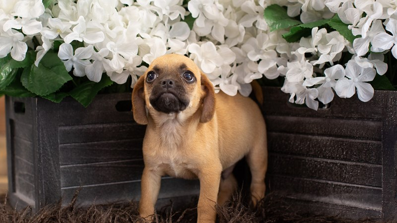 Grand Rapids Puggle Puppies