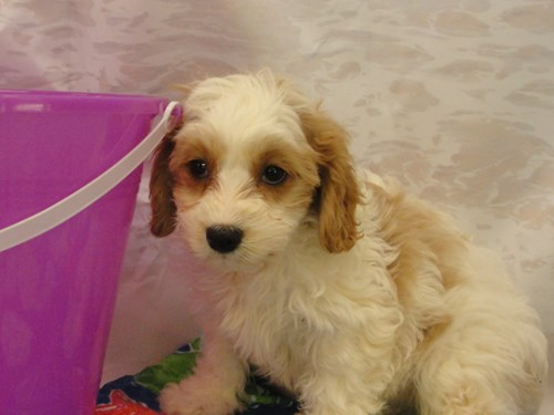 Available Puppies - Petland Merrillville, IN 219-738-1717