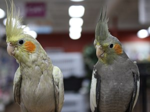 Beautiful Birds For Sale – Petland Knoxville Pet Store, TN