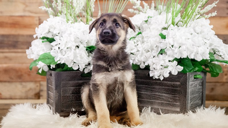 Grand Rapids German Shepherd Dog Puppies