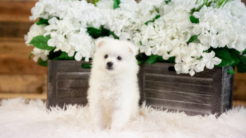 Grand Rapids American Eskimo Dog Puppies