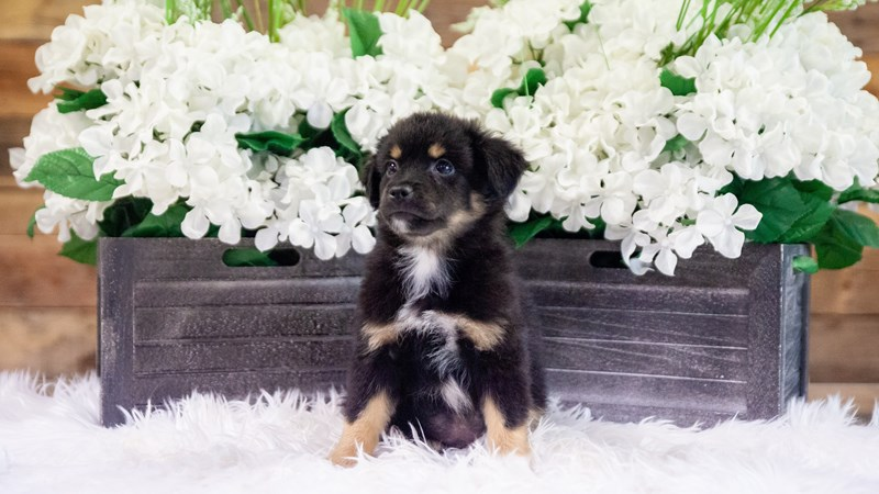 Grand Rapids Miniature Australian Shepherd Puppies
