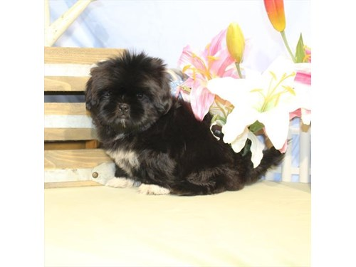 Available Puppies - Petland Terre Haute 812-234-1444