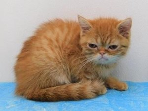 Cats & Kittens for Sale - Petland Bolingbrook, Illinois