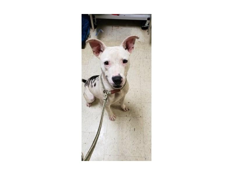 American Pit Bull Terrier-DOG-Male-black,white-2381594