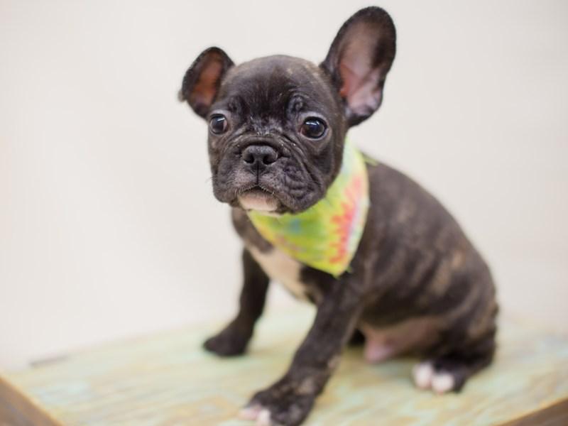French Bulldog-DOG-Male-BLACK & BRINDLE-2380902