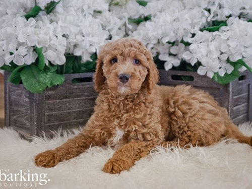 Grand Rapids F1B Standard Goldendoodle Dog Adoption Grand Rapids, MI
