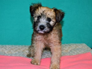 Available Puppies - Petland Dunwoody