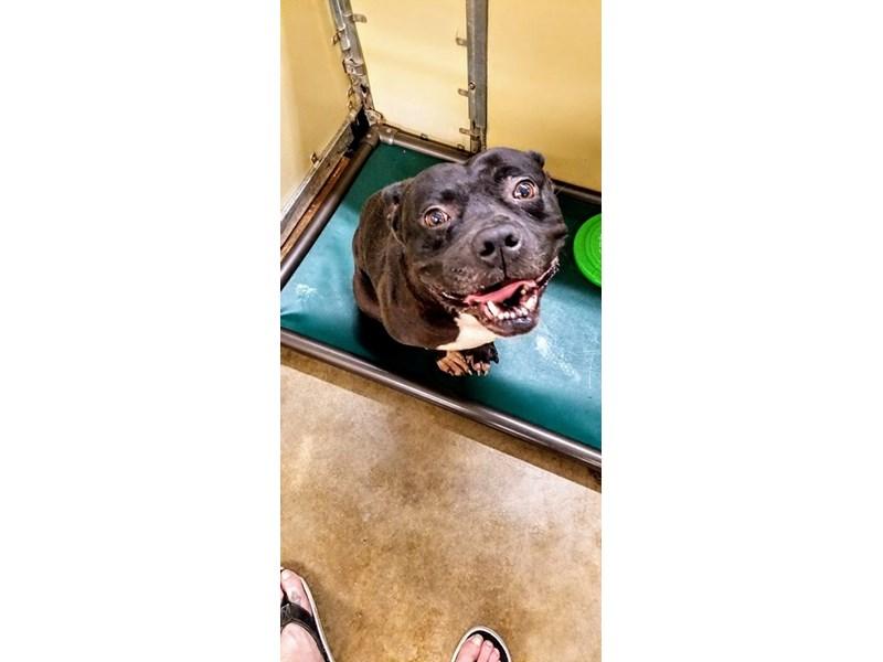 American Pit Bull Terrier-DOG-Male-black, white-2355826-img3