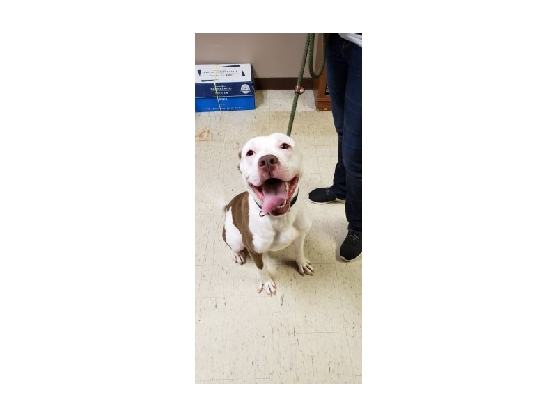 Pit Bull-DOG-Male-Brown, White-2388472