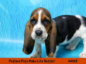 Dogs Puppies For Sale Petland Chicago Ridge Illinois Pet Store
