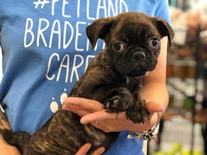 Puppies for Sale in Florida – Petland Bradenton Pet Store