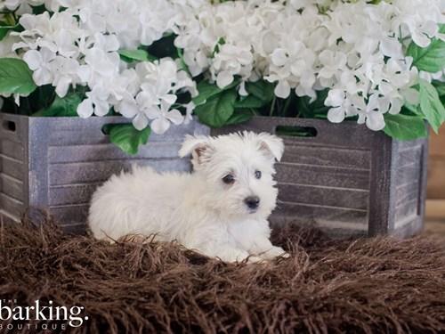 Grand Rapids West Highland Terrier Dog Adoption Grand Rapids, MI